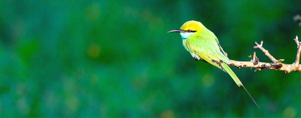 KITULGALA-BIRD