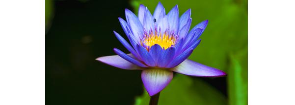 srilanka-flower