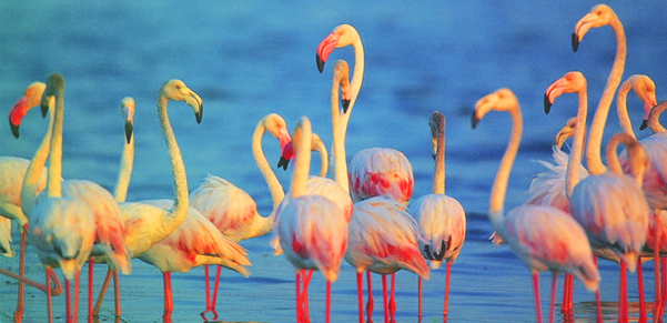 bundala-flamingo