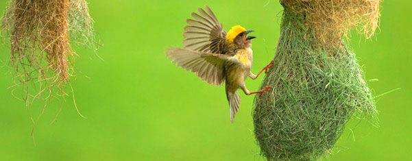 KALAMETIYA-BIRD