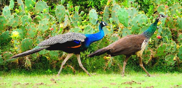 kalamatiya-bird