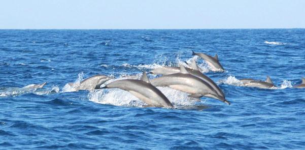 kalpititya-dolphin